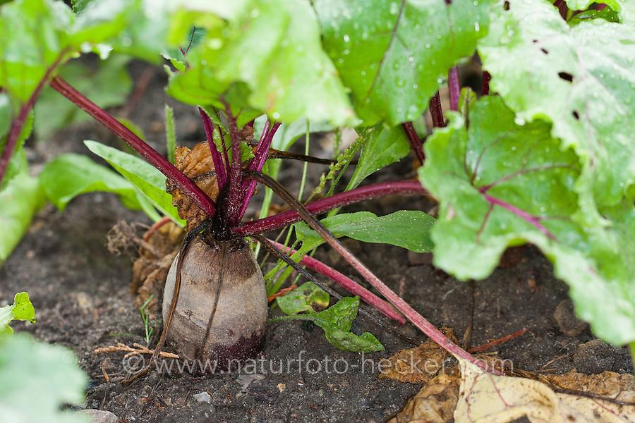 Rote Beete, Rote Bete, Rote Rübe, Beta vulgaris subsp. vulgaris, beetroot, Root beet, Mangel Wurzel, garden beet