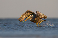 Adult Brown Pelicans (Pelecanus occidentalis) take flight after capturning a fish in the coastal shallows of a barrier island.  Terrebonne Parish, Louisiana. October.