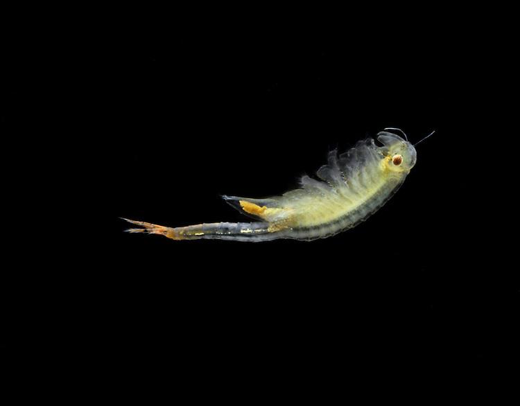 Fairy Shrimp - Chirocephalus diaphanus