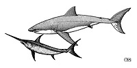 Great white shark, Carcharodon carcharias, appraoching swordfish, Xiphias gladius, pen and ink illustration.