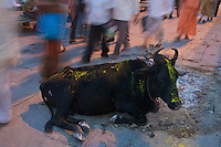 Holy Cow and Street scenes during Holi Festival Varanasi India,