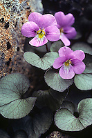 Olympic violet or Flett's violet (Viola flettii).  Found only in Olympic Mountains of  Washington State.  Summer..