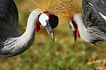 A pair of Crown Cranes walks through the grass looking, for food in Amboseli National Park, Kenya.