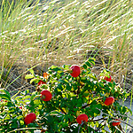 Beach Roses in the dunes turn into Rose Hips in the fall in Barnstable, Cape Cod, Massachusetts.