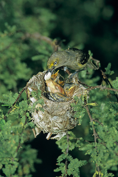 White-eyed Vireo, Vireo griseus, adult taking fecal sac from young in nest in Huisache Tree, Welder Wildlife Refuge, Sinton, Texas, USA