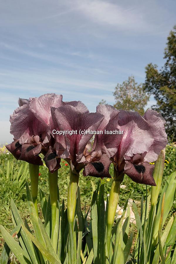 Israel, Mount Gilboa Iris (Iris haynei) on Mount Gilboa