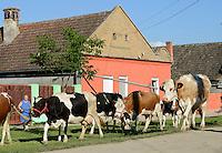 ROMANIA Banat, village Semlac, cattle/ RUMAENIEN Banat, Dorf Semlac, Kuehe