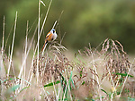 Bearded Tit, Male, Panurus biarmicus, perched on reeds by river, Stodmarsh, Kent, UK, Schedule 1 species Protected by The Wildlife and Countryside Act 1981
