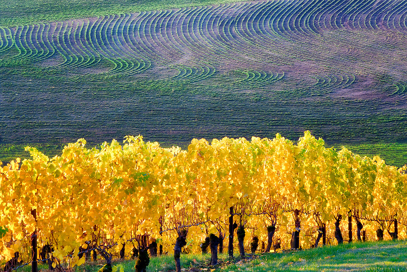 Five Mountains Vineyard with fall color and newly seeded grass field. Oregon