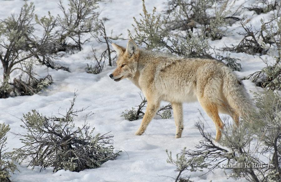 Coyote walks in snow, Yellowstone