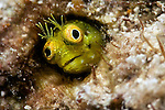 Acanthemblemaria aspera, Roughhead blenny Florida Keys