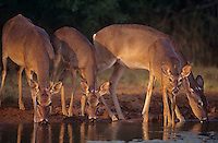 625358060 four wild whitetail deer odocoileus virginianus drink at a water hole in the lower rio grande valley of south texas united states