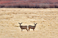 Two deer standing in grass. Near the Steens Mountain, Oregon