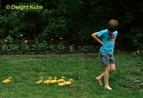 DG10-067x  Pekin Duck - six day old ducklings imprinting on human
