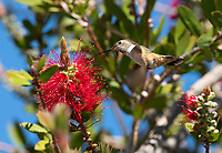 Female Rufous Hummingbird, Selasphorus rufus, feeds from a Bottlebrush flower, Callistemon sp., at Sacramento National Wildlife Refuge, California