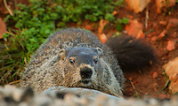 Courtesy photo/TERRY STANFILL<br /> HOW MUCH WOOD?<br /> Would a woodchuck chuck if a woodchuck would chuck wook? Terry Stanfill of the Decatur area took the photo of this woochuck, also called groundhog or whistle pig,  Nov. 5 near Swepco Lake west of Gentry.