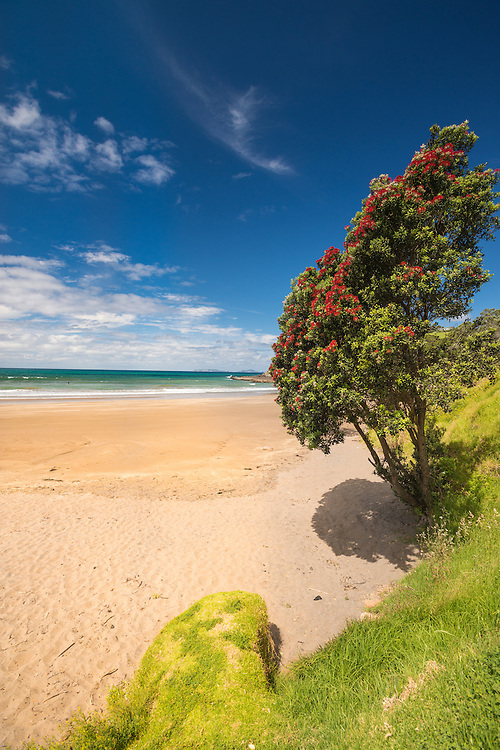 White sand beach and pohutukawa tree, Tutukaka Coast, New Zealand - stock photo, canvas, fine art print