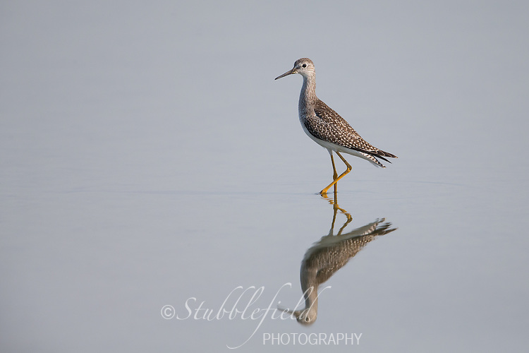 Greater Yellowlegs (Tringa melanoleuca), juvenile on the East Pond at Jamaica Bay Wildlife Refuge in New York City, New York.