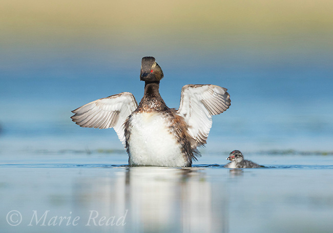 Eared Grebe (Podiceps nigricollis), adult flapping its wings, chick in the water nearby, Bowdoin National Wildlife Refuge, Montana, USA