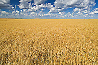 wheat field<br /> Trochu<br /> Alberta<br /> Canada