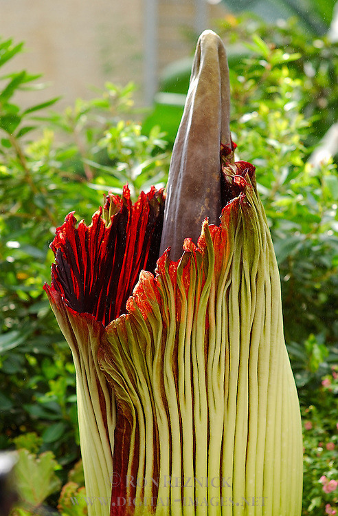 Blooming Titan Arum, Corpse Flower, Amorphophallus titanum, US Botanic Garden, National Mall, Washington DC