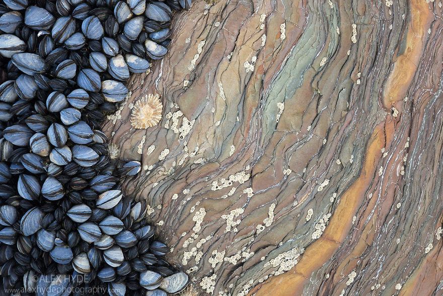 Colony of Common Mussels {Mytilus edulis} growing on striated rock formation exposed at low tide. Cornwall, UK. October. Highly commended in the Coast and Marine Category of the British Wildlife Photographer of the Year Awards (BWPA) Competition 2017.