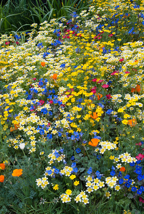 Mixed beautiful wildflowers in gold, yellow, orange, blue, red variety of colorful blooms, Linum, poppy, etc, naturalistic grandmother's old-fashioned cottage style plantings, Mixed beautiful Western American native wildflowers in gold,yellow, orange, blue, variety of colorful blooms, Linum, poppy, Eschscholzia californica, Limnanthes douglasii, blue Phacelia campanularia