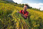 Yorth Chhean harvests rice in the Cambodian village of Pheakdei.
