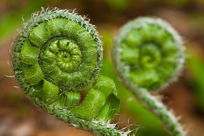 Nascent fern, Shelton Laurel Backcountry Area