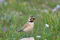 Horned Lark or Shore Lark (Eremophila alpestris).  Western U.S., Summer.