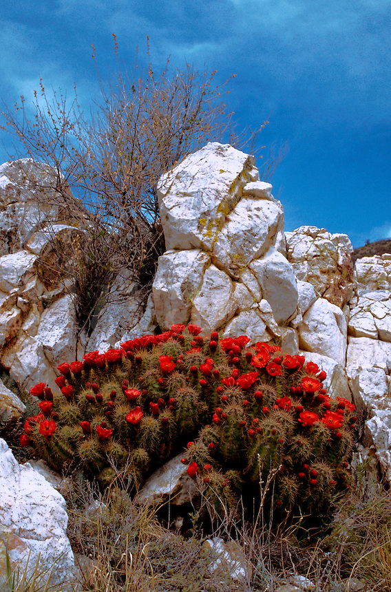 A Claret-cup Hedgehog cactus (Echinocereus trilochidiatus)in full bloom, tucked into a contrasting rock niche. Arizona.