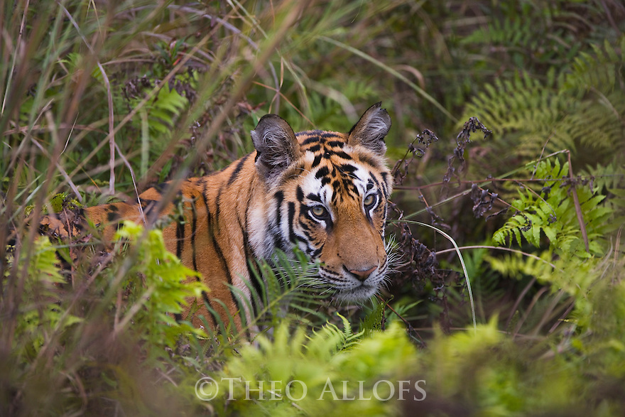 Bandhavgarh National Park, India; 17 months old Bengal tiger cub in wet green meadow with ferns, dry season