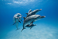 atlantic spotted dolphins photos