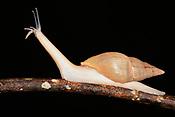 O Subulinidae,  conhecido como caracol de jardim em quintal de casas na cidade de Rio Branco, Acre..<br /> <br /> Subulinidae &eacute; uma fam&iacute;lia de pequenos carac&oacute;is terrestres de respira&ccedil;&atilde;o a&eacute;rea, moluscos de gastr&oacute;podes pulmonares terrestres na superfam&iacute;lia Achatinoidea .<br /> Rio Branco, Acre, Brasil.<br /> Foto Altino Machado.