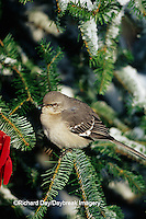 01395-02407 Northern Mockingbird (Mimus polyglottos) in Fir tree in winter Marion Co.  IL