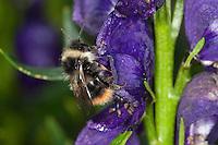 Pyrenäen-Hummel, Pyrenäenhummel, beim Blütenbesuch an Eisenhut, Bombus pyrenaeus, Pyrobombus pyrenaeus