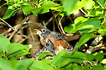 American Robin, Turdus migratorius, removing fecal sac