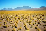 Desierto de Atacama / paja brava / Chile.