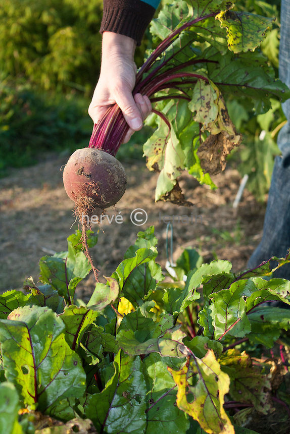 Récolte de betterave rouge (betterave rouge 'Pablo' F1) // Harvest beetroot (red beetroot 'Pablo' F1).