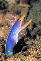 Rare photo shows two Ribbon Eels, Rhinomuraena quaesita, at different development stages, sharing the same burrow. Juveniles are mostly black, changing to neon blue as adult males. Only a small percent progress further to become all-yellow females. Similan Islands Marine National Park, Thailand, Andaman Sea