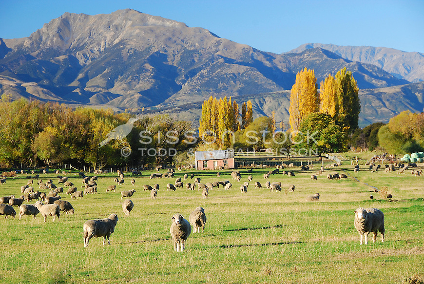 Sheep grazing in a paddock with an old farm house and mountains behind. Seen from the road to Glendu Bay near Wanaka, South Island, New Zealand