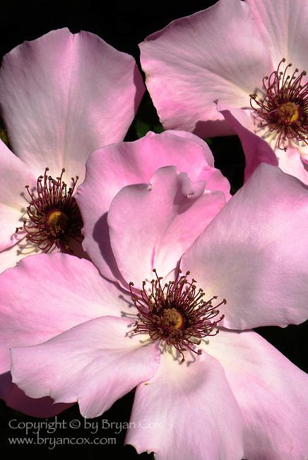 Dainty Bess rose, Portland Rose Garden, Oregon