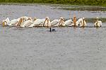 American White Pelican (Pelecanus erythrorhynchos) flock performing coordinated foraging with Double-crested Cormorant (Phalacrocorax auritus), Elkhorn Slough, Monterey Bay, California