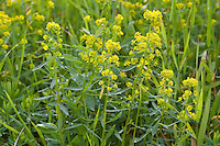 Esels-Wolfsmilch, Eselswolfsmilch, Esels-Wolfmilch, Scharfe Wolfsmilch, Euphorbia esula, Leafy Spurge, Wolf´s Milk