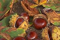 Gewöhnliche Rosskastanie, Roßkastanie, Reife Früchte und Fruchtschalen und Laub auf dem Boden, Ross-Kastanie, Roß-Kastanie, Kastanie, Aesculus hippocastanum, Horse Chestnut, Marronnier d`Inde