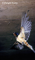 BA02-003z   Barn Swallow - adult flying to nest of young birds - Hirundo rustica