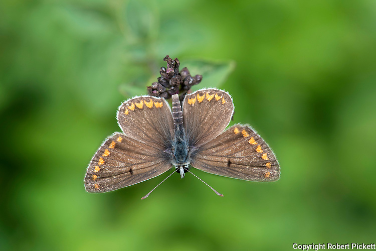 Brown Argus Butterfly, Aricia agestis,  Queensdown Warren, Kent Wildlife Trust, UK, wings open, in sunshine