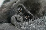 Portrait of a baby gorilla