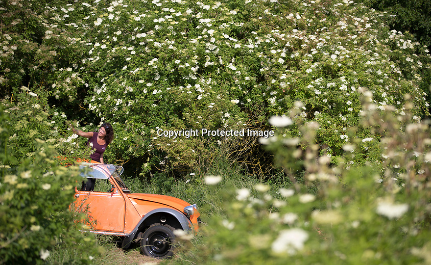 15/06/17<br /> <br /> With hot sunshine helping this scene to look like a vista you'd expect to see in Provence, Jo Bailey, stands up in an old open-top Citroen 2CV to reach the highest elderflower blooms as harvesting begins at Belvoir Fruit Farms, near Grantham, Lincolnshire.<br /> <br /> Hundreds of people flock to the farm and surrounding countryside each year to pick the flowers that are made into elderflower drinks.<br />  <br /> All Rights Reserved F Stop Press Ltd. (0)1773 550665 www.fstoppress.com