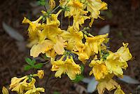 Rhododendron 'Klondyke' deciduous flowering shrub , hybrid azalea